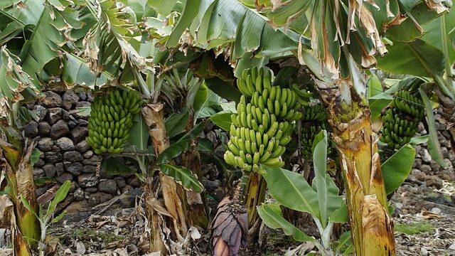 所さん絶賛!国産バナナジュース専門店の場所どこ?神バナナってなんですか