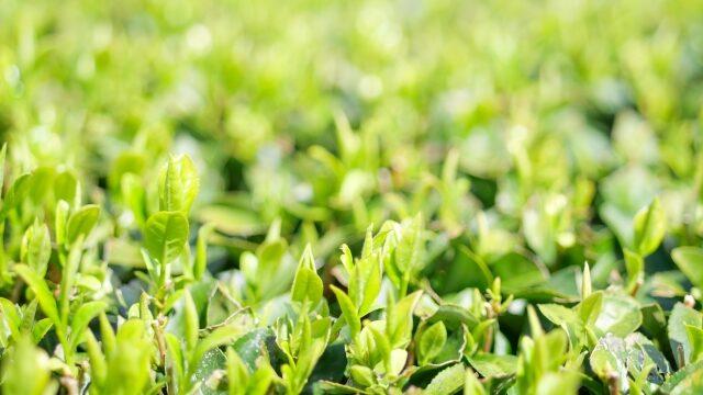 茨城・イケメン3兄弟の日本茶カフェってどこ?吉田茶園の3人兄弟が日本茶の素晴らしさを猛アピール!