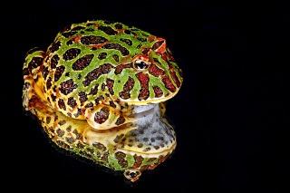 入江聖奈のペットのカエルの種類は?毒や歯はある?どこがかわいいのか調査